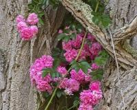 Tree_Rose2_lcd