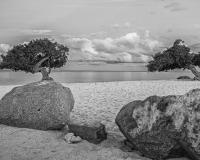Divi_Tree3BW_lcd
